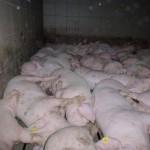 Die Schweinemastfarm von Jakob Auer, ÖVP-Abgeordneter und Bauernbund-Präsident