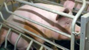 oevp-schweine
